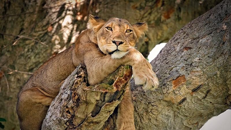 Ảnh sư tử - 13 (Kích thước: 1920 x 1080)