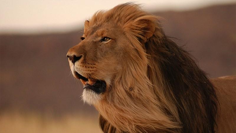 Ảnh sư tử - 14 (Kích thước: 1920 x 1080)