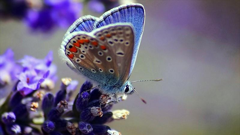 Hình nền bươm bướm - 14 (Kích thước: 1920 x 1080)