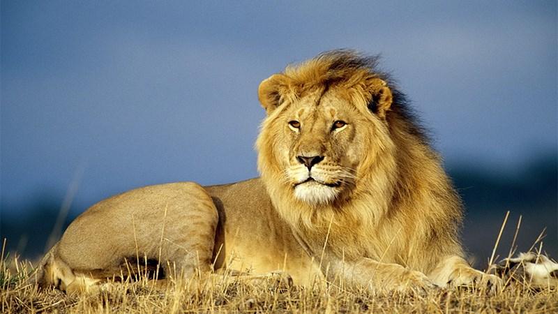 Ảnh sư tử - 16 (Kích thước: 1920 x 1080)