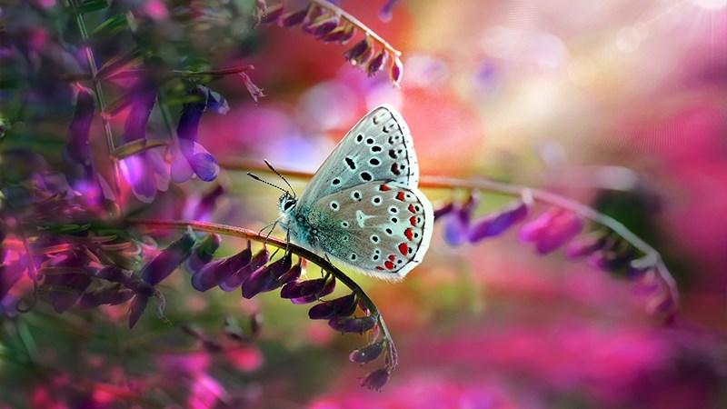 Hình nền bươm bướm - 16 (Kích thước: 1920 x 1080)