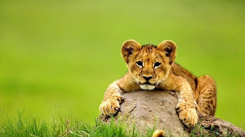 Ảnh sư tử - 18 (Kích thước: 1920 x 1080)