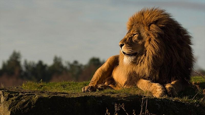 Ảnh sư tử - 19 (Kích thước: 1920 x 1080)