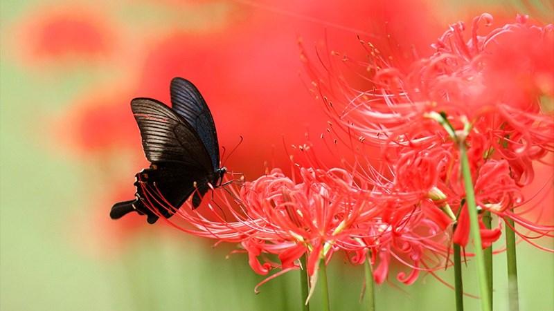 Hình nền bươm bướm - 19 (Kích thước: 1920 x 1080)