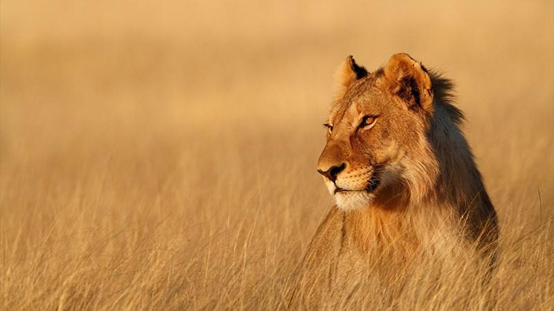 Ảnh sư tử - 2 (Kích thước: 1920 x 1080)