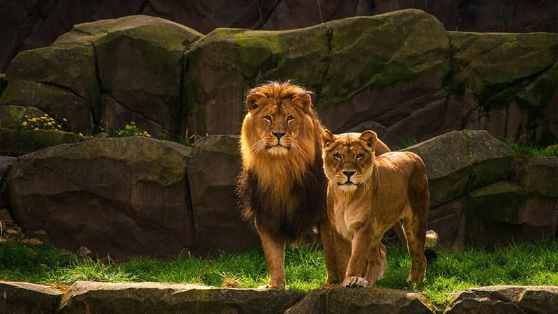 Ảnh sư tử - 20 (Kích thước: 1920 x 1080)