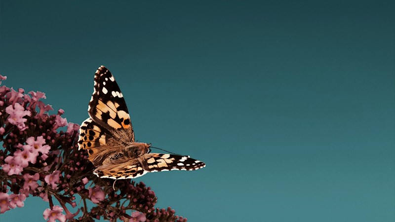Hình nền bươm bướm - 3 (Kích thước: 1920 x 1080)