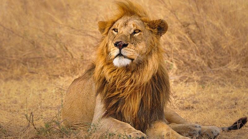 Ảnh sư tử - 4 (Kích thước: 1920 x 1080)