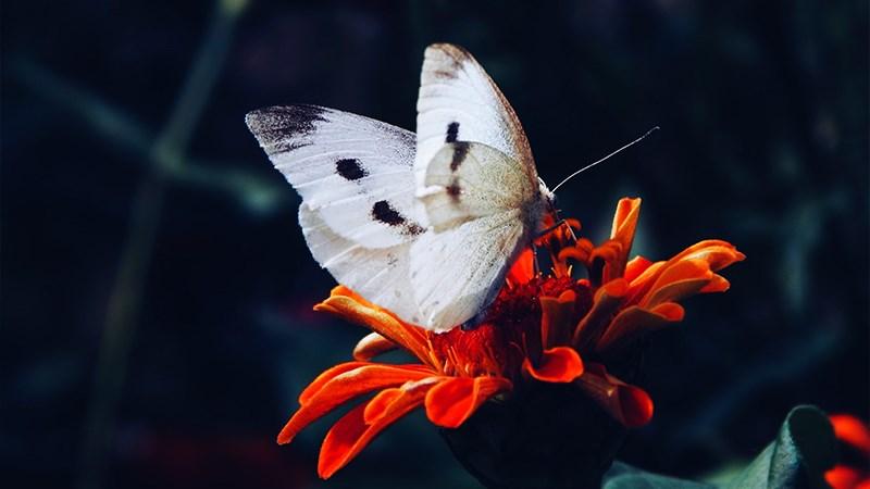 Hình nền bươm bướm - 4 (Kích thước: 1920 x 1080)