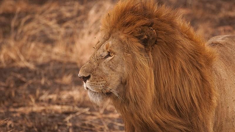 Ảnh sư tử - 5 (Kích thước: 1920 x 1080)