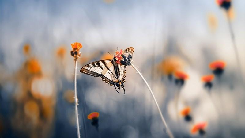 Hình nền bươm bướm - 5 (Kích thước: 1920 x 1080)