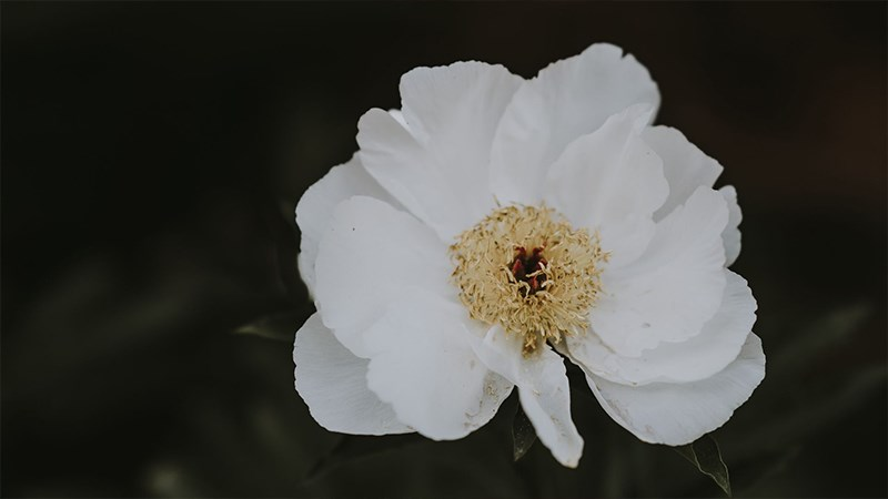 Ảnh hoa mẫu đơn - 6 (Kích thước: 1920 x 1080)