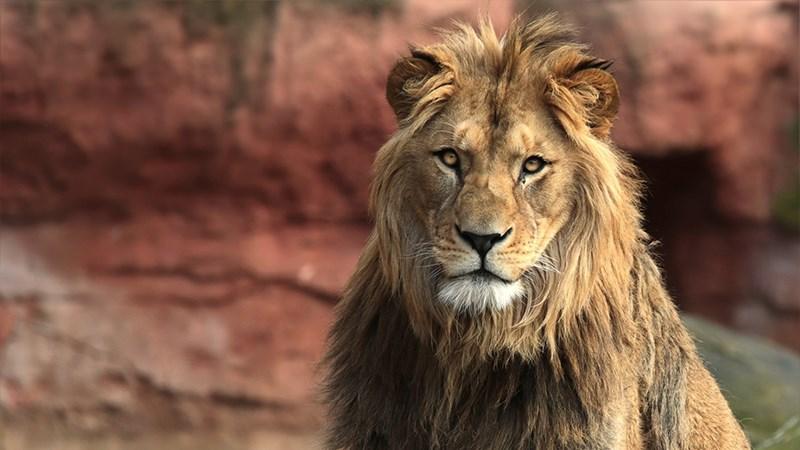 Ảnh sư tử - 6 (Kích thước: 1920 x 1080)