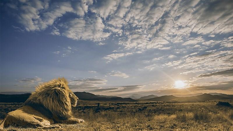 Ảnh sư tử - 7 (Kích thước: 1920 x 1080)