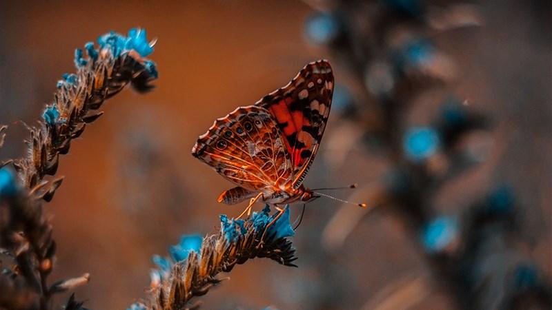Hình nền bươm bướm - 7 (Kích thước: 1920 x 1080)