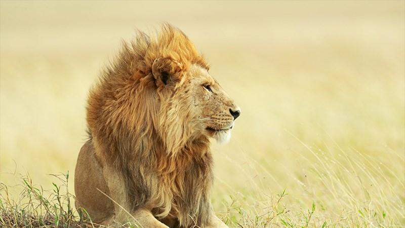 Ảnh sư tử - 8 (Kích thước: 1920 x 1080)
