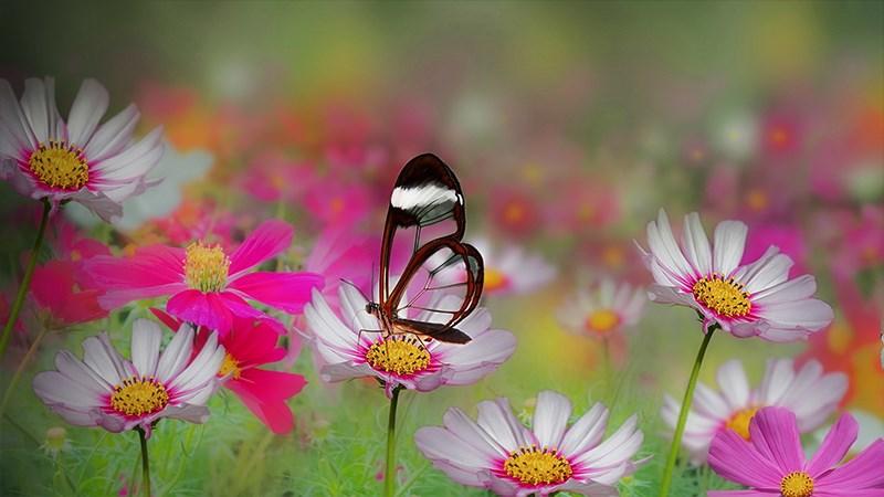 Hình nền bươm bướm - 8 (Kích thước: 1920 x 1080)