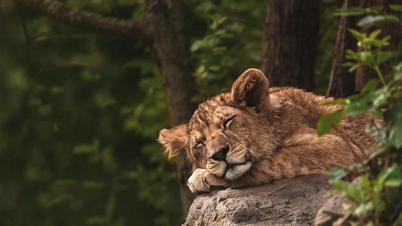 Ảnh sư tử - 9 (Kích thước: 1920 x 1080)