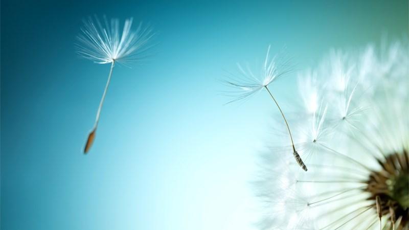 Ý nghĩa hoa bồ công anh trong cuộc sống
