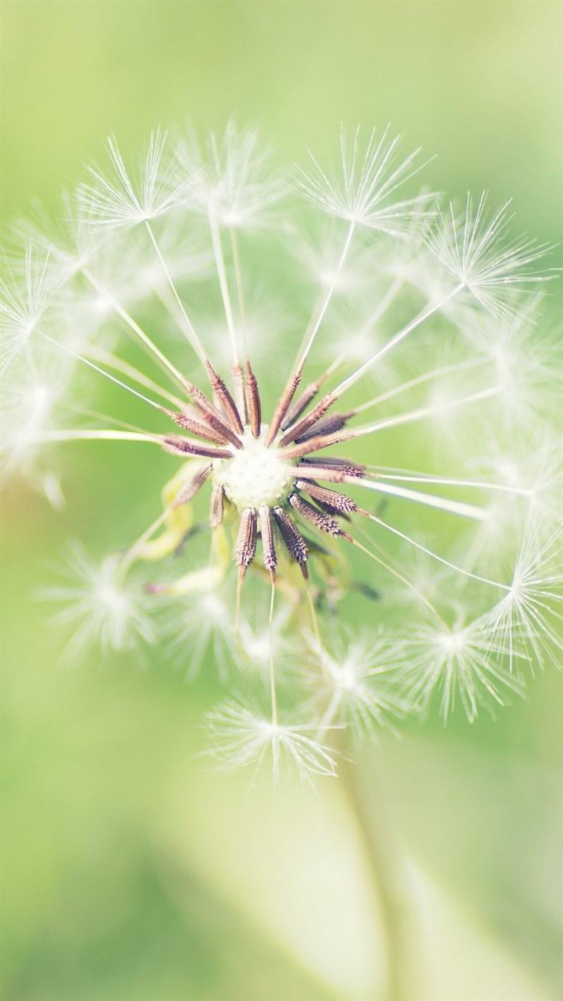 Ảnh hoa bồ công anh - 14 (Kích thước: 1080 x 1920)