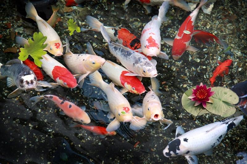 Những chú cá Koi nhiều màu sắc