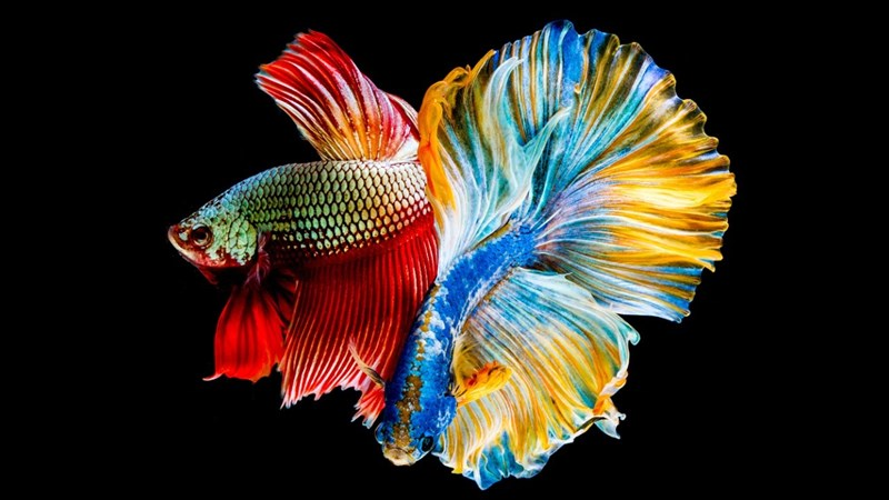 Ảnh cá với nhũng chiếc đuôi đang xòe ra thật đẹp
