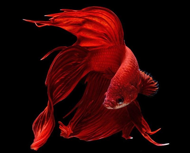 Ảnh cá sặc sỡ với màu đỏ siêu đẹp