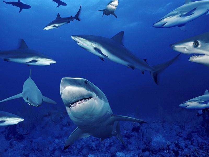 Những chú cá mập đang tập trung chuẩn bị săn mồi
