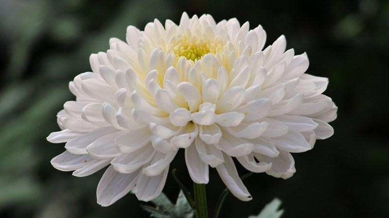 Hình nền hoa cúc đại đóa 11 (Kích thước: 1920 x 1080)