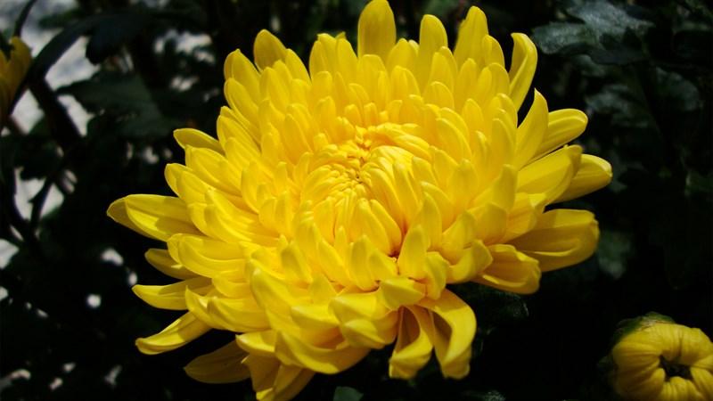 Hình nền hoa cúc đại đóa 4 (Kích thước: 1920 x 1080)