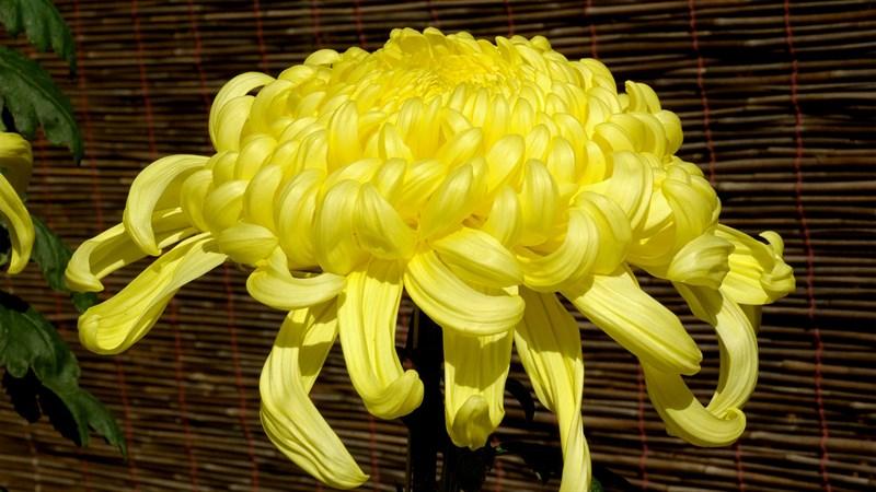 Hình nền hoa cúc đại đóa 10 (Kích thước: 1920 x 1080)