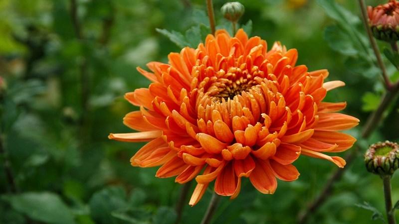 Hình nền hoa cúc đại đóa 9 (Kích thước: 1920 x 1080)