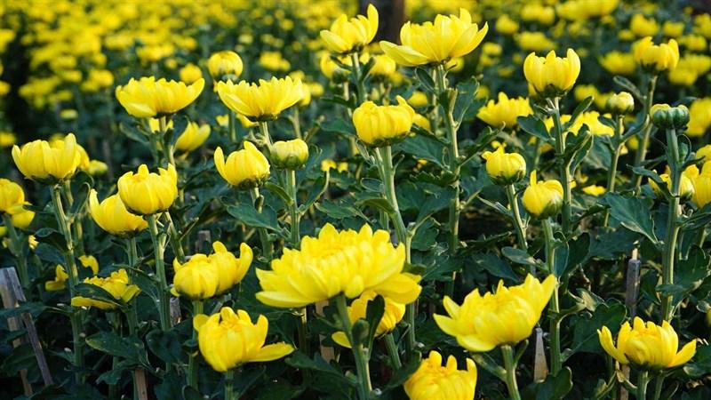 Hình nền hoa cúc đại đóa 7 (Kích thước: 1920 x 1080)