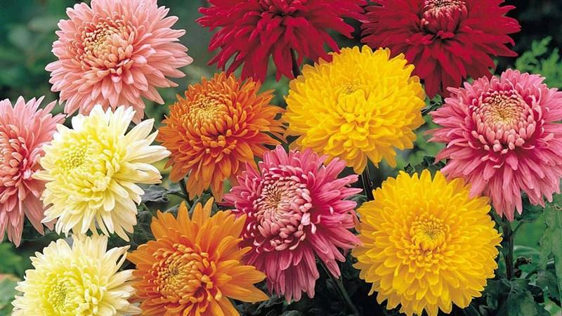 Hình nền hoa cúc đại đóa 8 (Kích thước: 1920 x 1080)