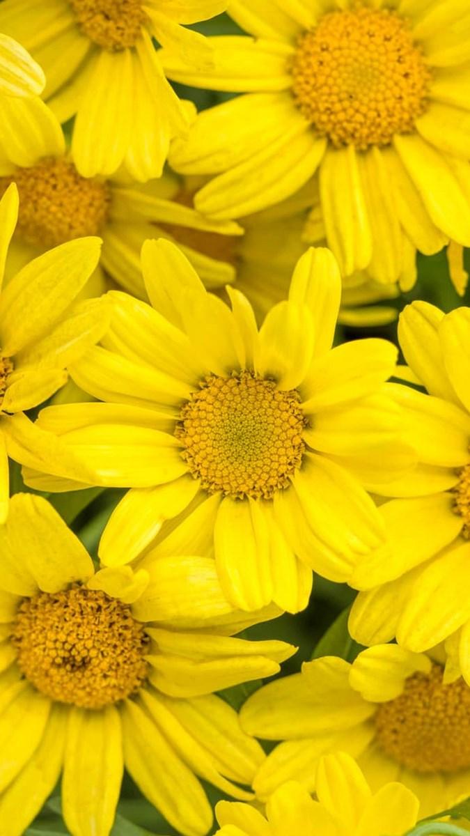 Hình nền hoa cúc điện thoại 8 (Kích thước: 1080 x 1920)