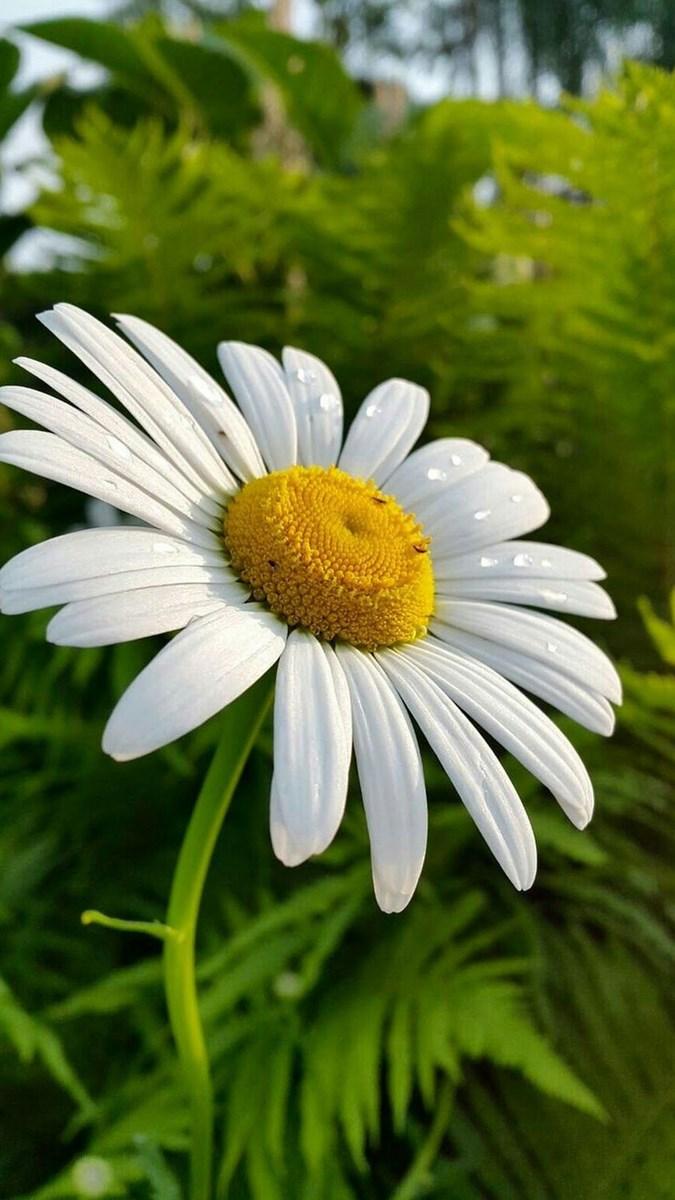 Hình nền hoa cúc điện thoại 10 (Kích thước: 1080 x 1920)