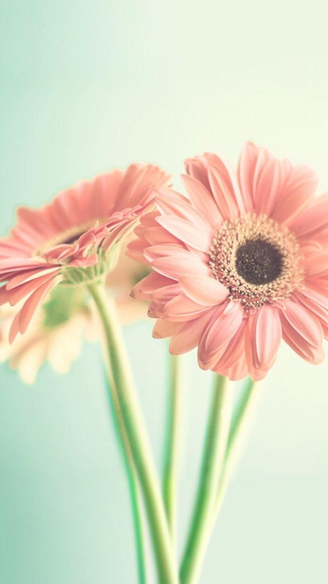 Hình nền hoa cúc điện thoại 4 (Kích thước: 1080 x 1920)