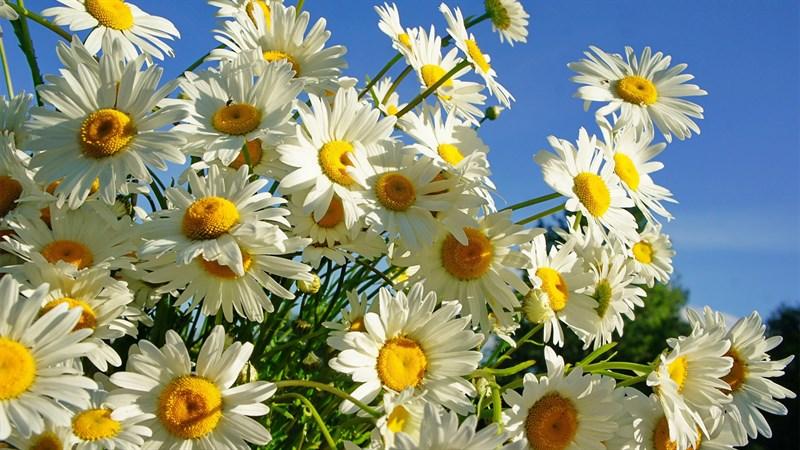 Hình nền hoa cúc họa mi 2 (Kích thước: 1920 x 1080)