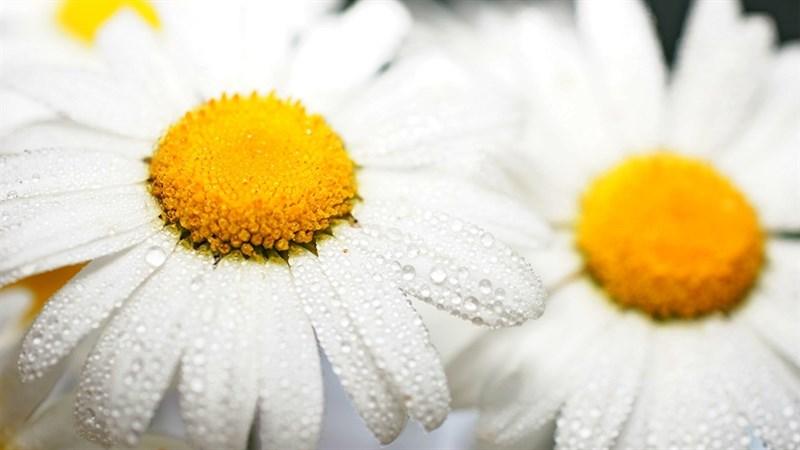 Hình nền hoa cúc họa mi 1 (Kích thước: 1920 x 1080)