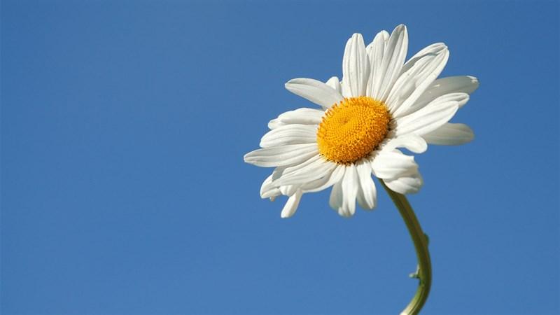 Hình nền hoa cúc họa mi 4 (Kích thước: 1920 x 1080)