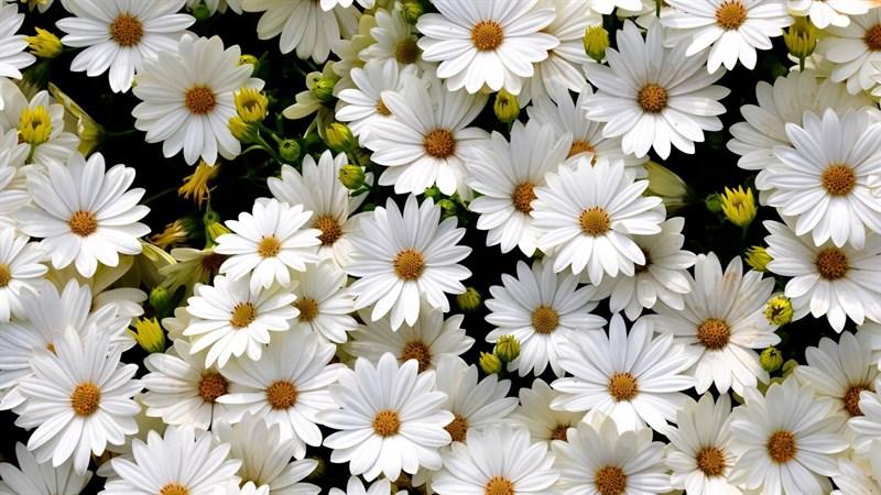 Hình nền hoa cúc họa mi 5 (Kích thước: 1920 x 1080)