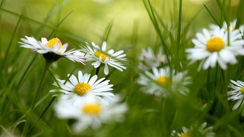 Hình nền hoa cúc họa mi 7 (Kích thước: 1920 x 1080)