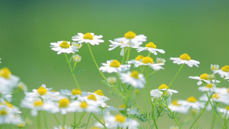 Hình nền hoa cúc họa mi 9 (Kích thước: 1920 x 1080)