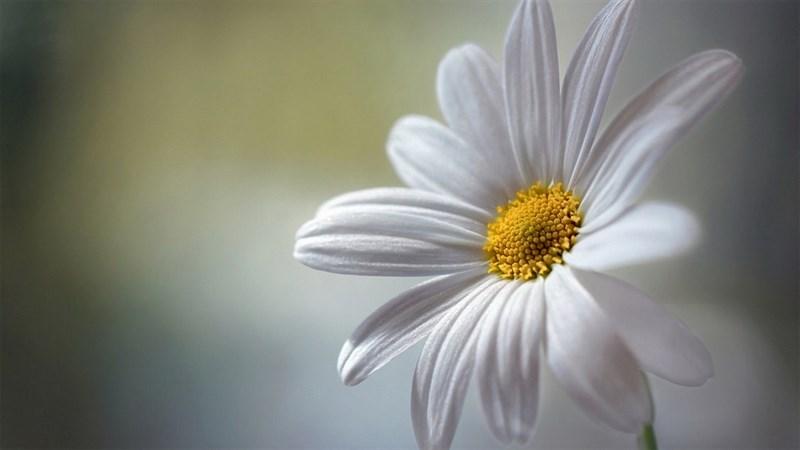Hình nền hoa cúc họa mi 11 (Kích thước: 1920 x 1080)