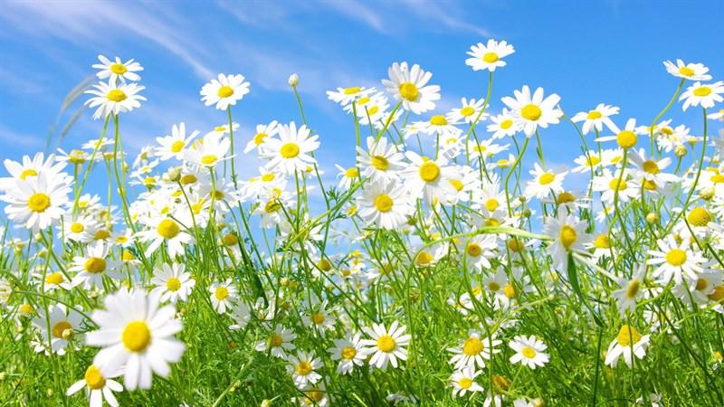 Hình nền hoa cúc họa mi 10 (Kích thước: 1920 x 1080)