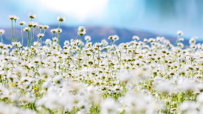 Hình nền hoa cúc họa mi 12 (Kích thước: 1920 x 1080)