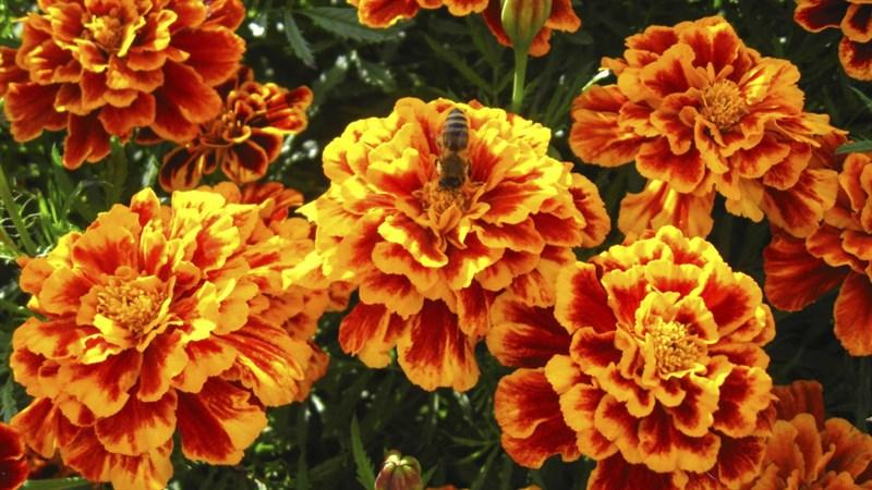 Hình nền hoa cúc vạn thọ 4 (Kích thước: 1920 x 1080)