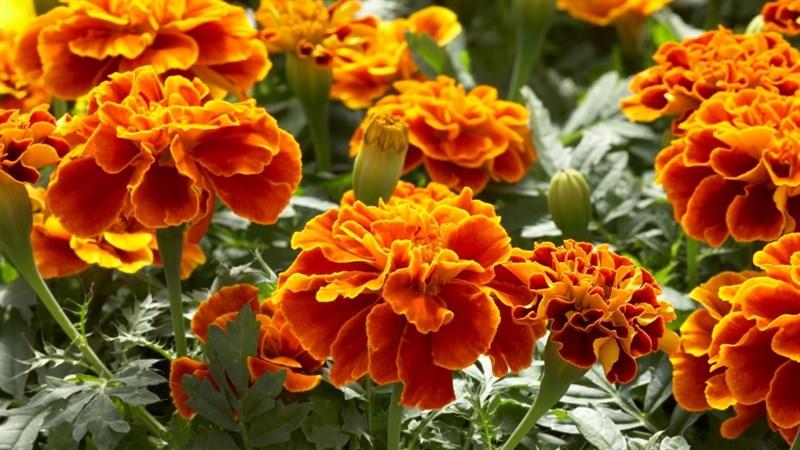 Hình nền hoa cúc vạn thọ 12 (Kích thước: 1920 x 1080)