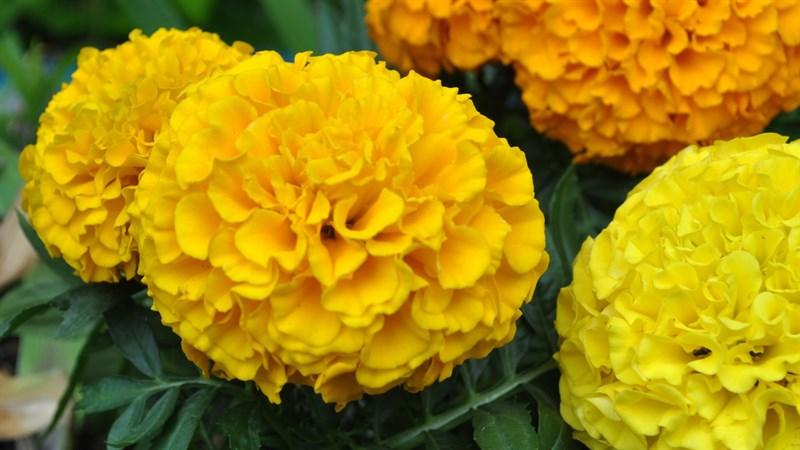 Hình nền hoa cúc vạn thọ 5 (Kích thước: 1920 x 1080)