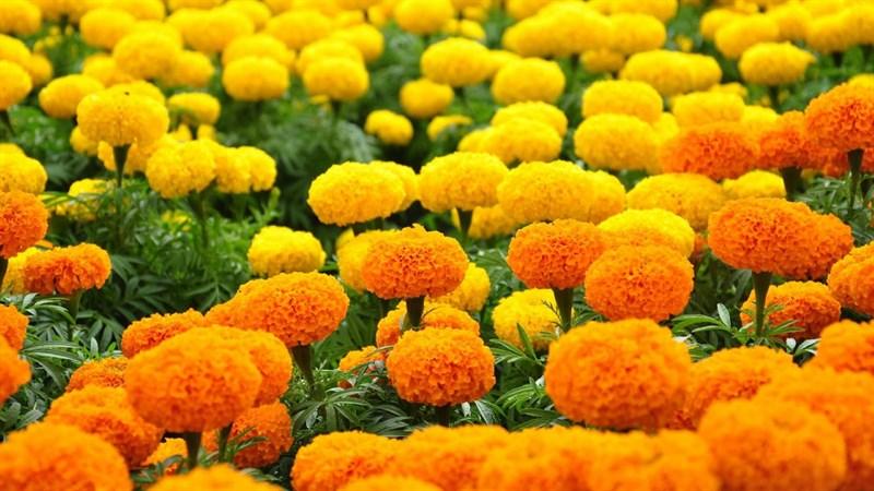 Hình nền hoa cúc vạn thọ 7 (Kích thước: 1920 x 1080)